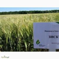 Семена озимой пшеницы Зиск - экстрасильный сорт