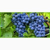 Продам товарный виноград, сорт 1001