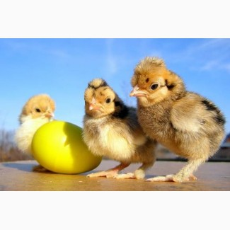 Продам яйцо для инкубации. Фокси Чик