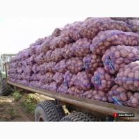 Картофель оптом от 3 тонн