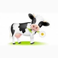 Терміново продам дві корови та телицю парувального віку