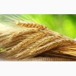 Закупаем пшеницу CPT
