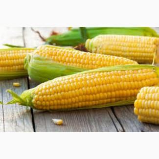 Семена кукурузы Черкассы. Лучшие семена
