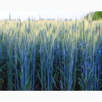 Пшеница озимая СТАЛЕВА (ИНТЕНСИВНЫЙ СОРТ), элита
