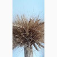 Закупаем продовольственную и фуражную пшеницу