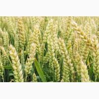 Продам Семена озимой пшеницы Журавка Одесская Год регистрации: 2011