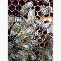 Продам бджолосім`ї 1200грн