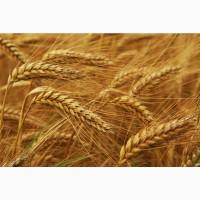 Закупокуємо зернові та олійні с/г культури за вигідною ціною