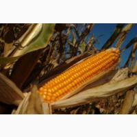 Кукуруза гибрид ДН Галатея