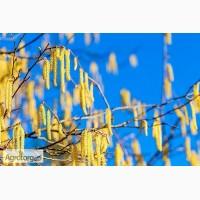 Саджанці ліщини (фундука) Каталонський, Барселонський, Косфорд