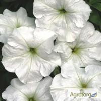 Продам семена петуния многоцветковая низкорослая Анжелика F1