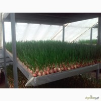 Продаж зеленої цибулі пера