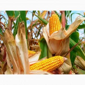 Продаємо насіння гібриду кукурудзи Гран 310