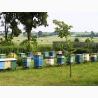 Продам пчелопакеты карпаткы