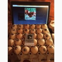 Інкубаційні яйця м'ясо-яєчних курей. Купити яйце інкубаційне Львів