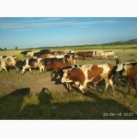 Продам бычков и телят