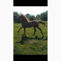 Верховний кінь, лоша, жеребчик