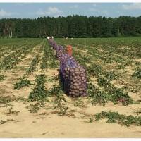 Фермерское хозяйство реализует буряк