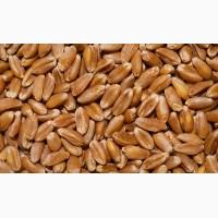 Куплю пшеницу 2, 3-6 кл