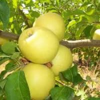 Продам саженцы яблони