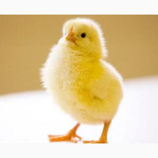 Cobb 500 |Инкубационное яйцо | Харьков |Купить Кобб-500 яйцо, цена 13 грн
