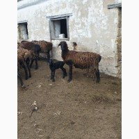 Продам курдючных племенных овец