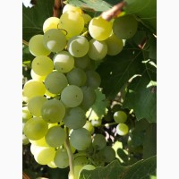 Продам винный виноград цитрон магарача