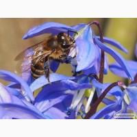 Карпатка. Продам бджолосім`ї, відводки, отводки, пакеты, пчелосемьи, літо, червень, 2021 р