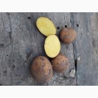 Продам Картошку отличное качество. Сорт Конненкт, картофель 6. 5