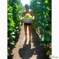 Продам виноград оптом столовых сортов