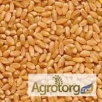 Закупаем пшеницу 2-6 кл., ячмень и др. зерновые и масличные