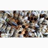 Бджоломатки породи Карпатка, 2017р
