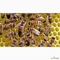 Продам бджолопакети.Вінницька область