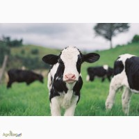 Замінник молока Телятко.JUNIOR + (з 20 дня, 50% молочної основи)