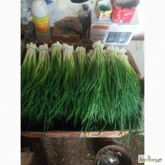 Продам зелень лука в Днепре