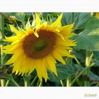 Предлагаем приобрести семена гибридов подсолнечника