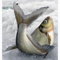 На ваших условиях купим живую рыбу