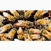 Матки породы пчёл БАКФАСТ на 2019 год