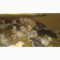 Продам цыплят возраст 1 мес