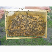 Продам 80 бджолопакетів карпатської породи з власної пасіки на 4 рамки дадан