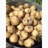 Картофель молодой Ривьера наличный и безналичный расчет