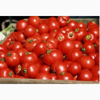 Купить помидоры от производителя
