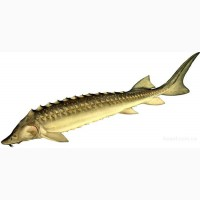 Живая рыба осетрина