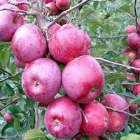 Продаю оптом яблоки из своего сада. ФЛОРИНА, ЧЕМПИОН