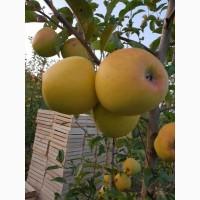 Продам яблука вищої категорії різних сортів на опт (60тонн)
