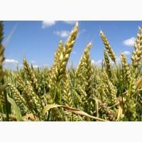 Семена пшениці ЛенноксДвуручка, Канада
