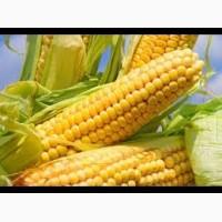 Закупівля кукурудзи. Великий гурт