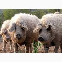 Продам свиней МАНГАЛИЦА оргнаническая свинина