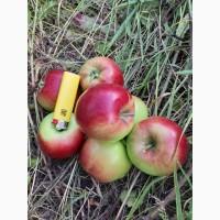 Продам яблоко оптом с сада сорт Коп