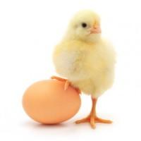 Продаємо інкубаційне яйце Домінант
